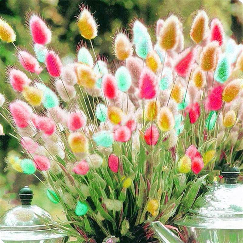 Egrow 100Pcs/Pack Rabbit Tail Grass Seeds Mixed Color Garden Bunny Tail Grass De