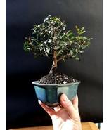 Micro Bonsai Pistacia lentiscus Baum Mastixbaum - Pistazien Lentisque - $86.76