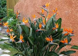 SHIPPED From US_15 seeds CRANE FLOWER PLANT-Strelitzia Reginae flowering-EC - $46.99
