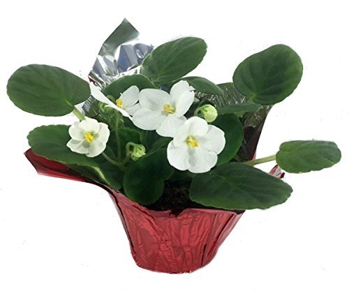 """Novelty African Violet in Decorative Holiday Pot Cover - 4"""" Pot - $17.63"""