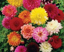 50 pcs Very Graceful Mixed heirloom Dahlia pinnata perennial flowers - $13.80