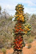 Hakea Victoriae * Royal Hakea * Stunning Ornamental Plant * Very Rare 3 Seeds * - $7.99