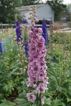 100 Delphinium Seeds Astolat Flower Seeds -  Garden Seeds - Plant Seeds-FREESHIP - $38.99