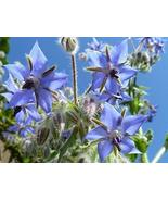 Borage Herb Seeds - 25 Count Seed Pack - Non-GMO - an Open-pollinated he... - $1.59