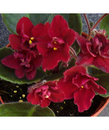1 Live Plant Potted - African violet Tomahawk live plant #PVLS - $43.99