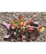 15 Seeds - Purple Knockout Salvia Lyrata Lyre-Leaf Sage Lavender Blue #S... - $17.99