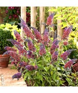 Starter Plant Buddleia Bicolor Butterfly Bush Miscellaneous Colors - $19.91
