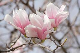 Saucer Magnolia 1 gallon pot Soulangeana image 1