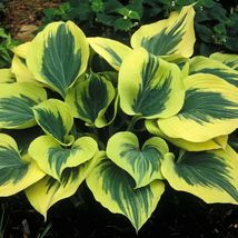 """1 Cut Potted Plant hosta LIBERTY large thick popular 2.5"""" pot - $39.99"""