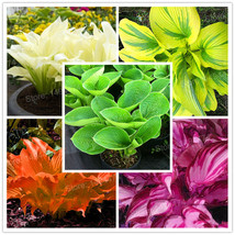100 Seeds/bag mixed color Hosta plants,Hosta 'Whirl Wind' in full shade,... - $3.99