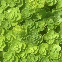 Sedum spurium 'Green Mantle' (Caucasian stonecrop 'Green Mantle') X 10 - $2.63