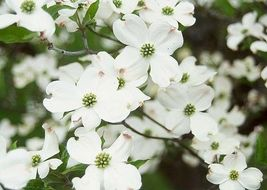 "White Flowering Dogwood 4"" pot (cornus-florida) image 3"