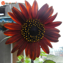 50 Helianthus Red Sunflower Seeds Red Sun Fortune Bloom Garden Heirloom ... - $4.00