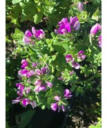 Polygala myrtifolia Sweet pea Live Plant Huge Seedling Purple Flower - $6.60