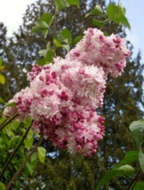 25 Pcs Seeds Pink White Lilac Perennial Fragrant Flower - RK - $8.00