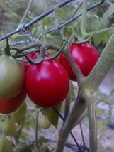20 Seeds Pearly Pink Cherry Tomato *Heirloom*  - $5.98