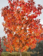 American Sweetgum, Liquidambar styraciflua, Tree Seeds (Fall Color, Hardy, Fast) - $11.99