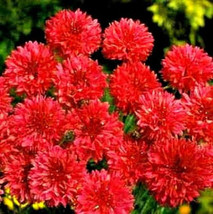 Red Bachelor Button Seeds, Tall Red Cornflower Seeds, Heirloom Flower Seeds 75ct - $14.39