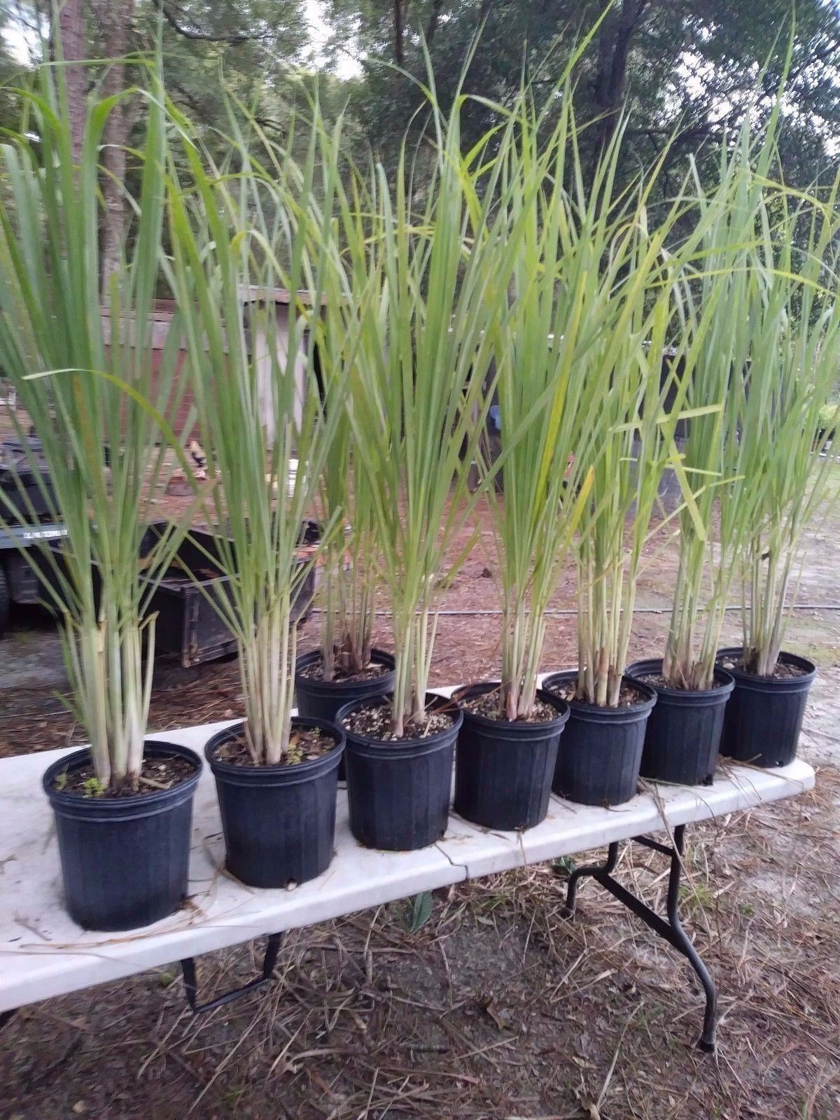 """Lemongrass 5 Live Plants Each 8-12"""" Tall fully rooted - $13.97"""
