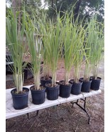 "Lemongrass 5 Live Plants Each 8-12"" Tall fully rooted - $13.97"