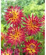 2 Dahlia Electric Flash Flower Bulb Red Yellow Color Perennial Summer Bl... - $43.56