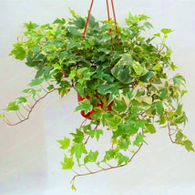 50 Pcs Chinese Ivy Seeds Rare Climbing Bindwood Anti Radiation Ultraviol... - $4.92