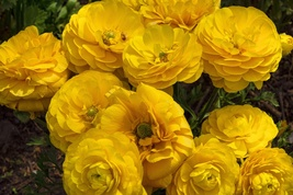10 Bulbs Yellow Ranunculus asiaticus (Persian Buttercup) Fully double fl... - $8.75