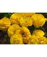 10 Bulbs Yellow Ranunculus asiaticus (Persian Buttercup) Fully double fl... - $10.75