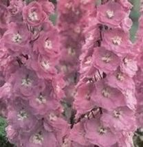 100 Pcs Pink Perfection Larkspur Delphinium Flower Seeds #MNSB - $14.99
