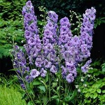 SHIP FROM US 400 Larkspur Lilac Spire Flower Seeds (Delphinium Consolida), UTS04 - $59.98