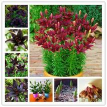 Lilies Bulbs, Lily Flowers, Rare Balcony Bonsai Plant, Mix Black, FREE SHIP US - $9.99+