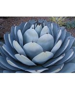 15 Seeds of Rare Agave PARRYI TRUNCATA - $13.86