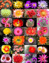COLOR CACTUS MIX @j@ exotic cacti flowering desert succulent plant seed 20 seeds - $18.00