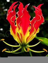 Gloriosa Superba Flower bonsais 30PCS Lily bonsais Rare Special Flower C... - $0.59