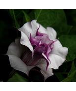 20 Seeds Purple Moonflower Gorgeous Night Blooming Beautiful Garden Flow... - $4.41