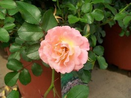 Peach Drift NEW Groundcover Rose 2 Gal. Live Shrub Plants Shrubs Plant Roses NOW - $43.60