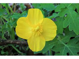 20 CELANDINE yellow POPPY bulb (Stylophorum eiphyllym image 2