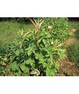 50 Okra (Clemson Spineless) Seeds - $8.99