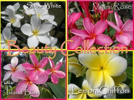 Rare & Exotic 4 pack *Beauty* Collection Plumeria Frangipani Hawaiian Cu... - $35.95