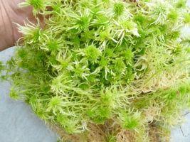 Gallon Bag LIVE ORGANIC SPHAGNUM MOSS TERRARIUM VIVARIUM Frogs Bogs Garden - $60.00