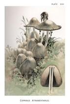 W. Hamilton Gibson: Coprinus Atramentarius - Harper Publishers - 1895 - $12.82+