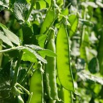 Oregon Sugar Pod Pea 30 Seed Non-GMO Heirloom Vegetable - $1.97