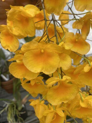 "Whopper Dendrobium aggregatum Bloom size 6"" wood slat basket LARGE SPECIES"
