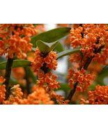 Orange Flowering Fragrant Tea Olive (osmanthus) - Live Plant - Trade Gal... - $80.00