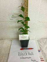 Blackhaw Viburnum qt pot (Viburnum prunifolium) image 5