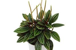 "4"" Pot Peperomia Rosso Live Plant /#HSSFA - $4.99"