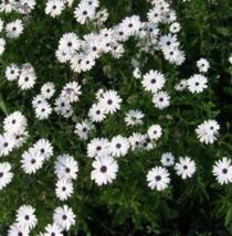50 Pcs Seeds White African Daisy Dimorphotheca Aurantiaca Flower -  RK - $6.00