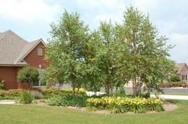 River Birch MULTI- stem tree (betulanigra) image 3