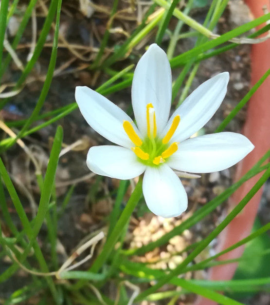 Zephyranthes treatiae Florida Native Fall White Flowers Grass Bulb Plant 6 Bulbs