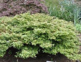1 Starter Plant of Acer Palmatum 'Hanami Nishiki' - Hanami Nishiki Japanese Mapl - $378.18